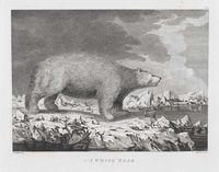 A White Bear
